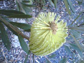 banksia-integrifolia-1