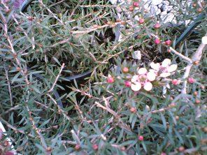 leptospermum-pink-cascade