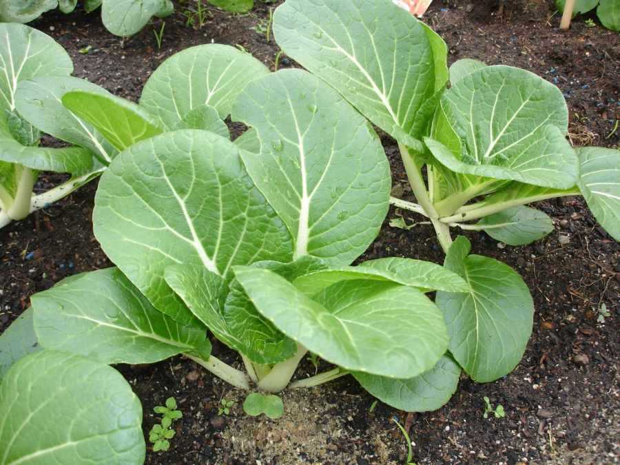 Bok choy plant
