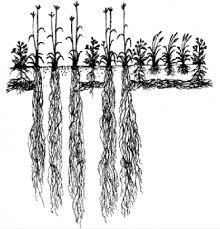 Figure 1, Different root lengths