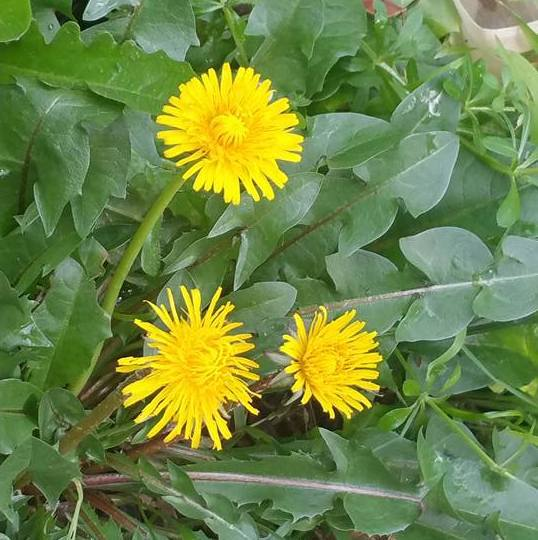 dandelion-weeds-edible-weeds-natural-medicine-ailm